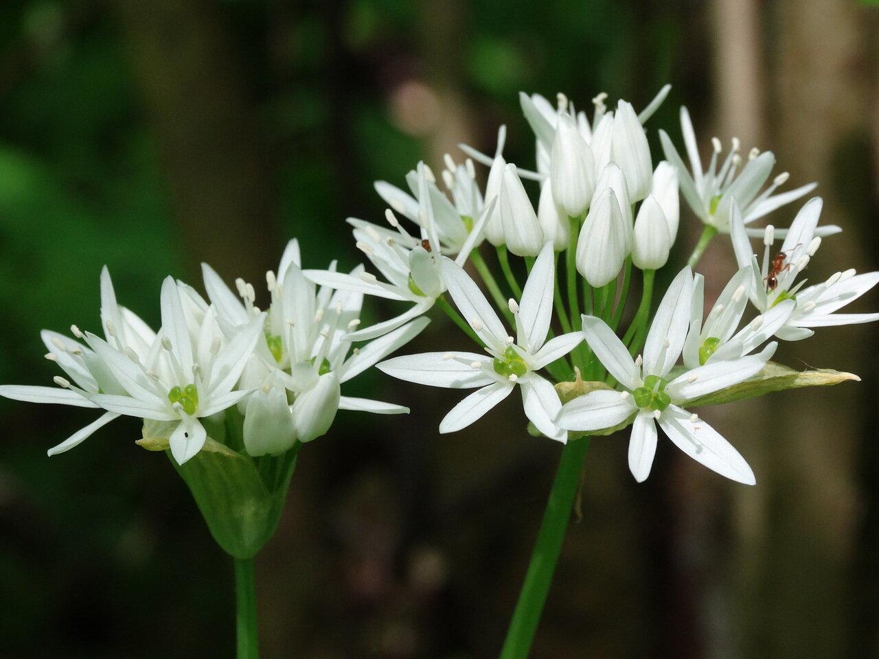 Черемша (Allium ursinum). Автор фото: Привалова Марина