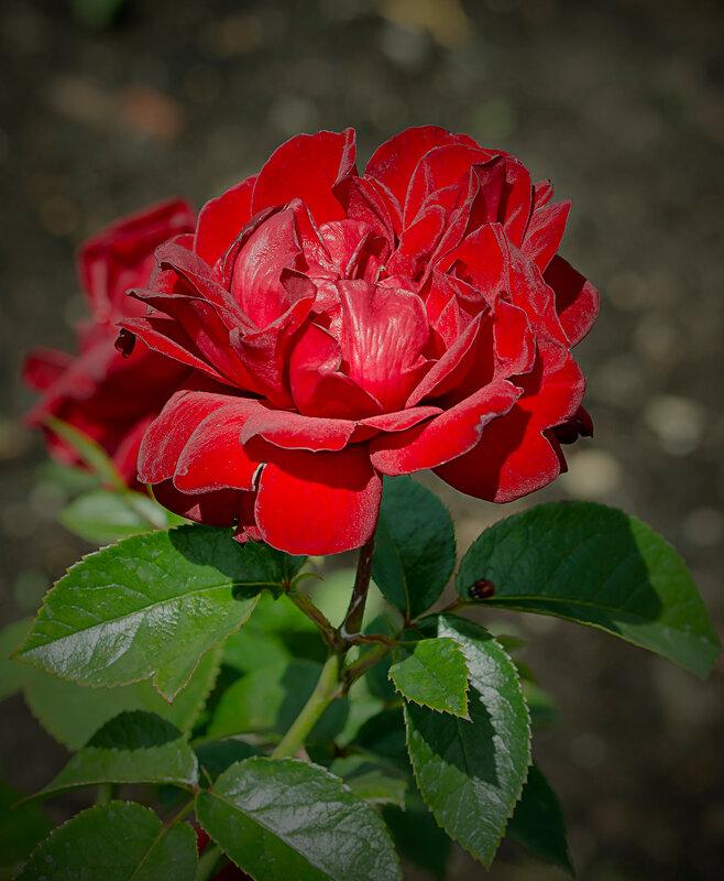 Первая любовь (Роза Jugendliebe)