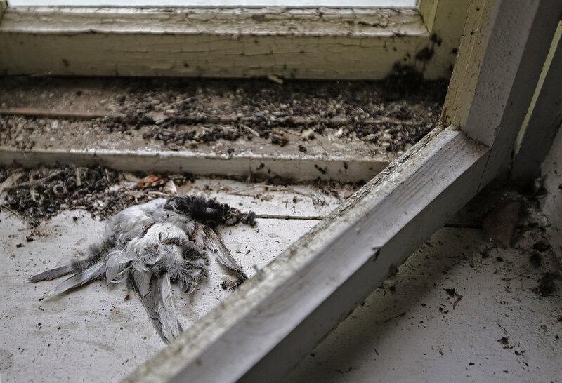 Мёртвая трясогузка на усадебном окне