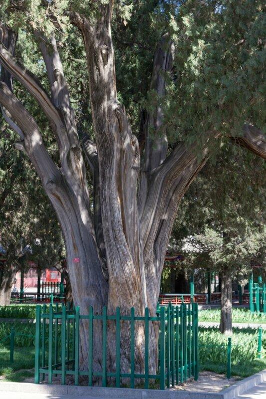 Старый кипарис, парк Чжуншань гунъюань, Пекин