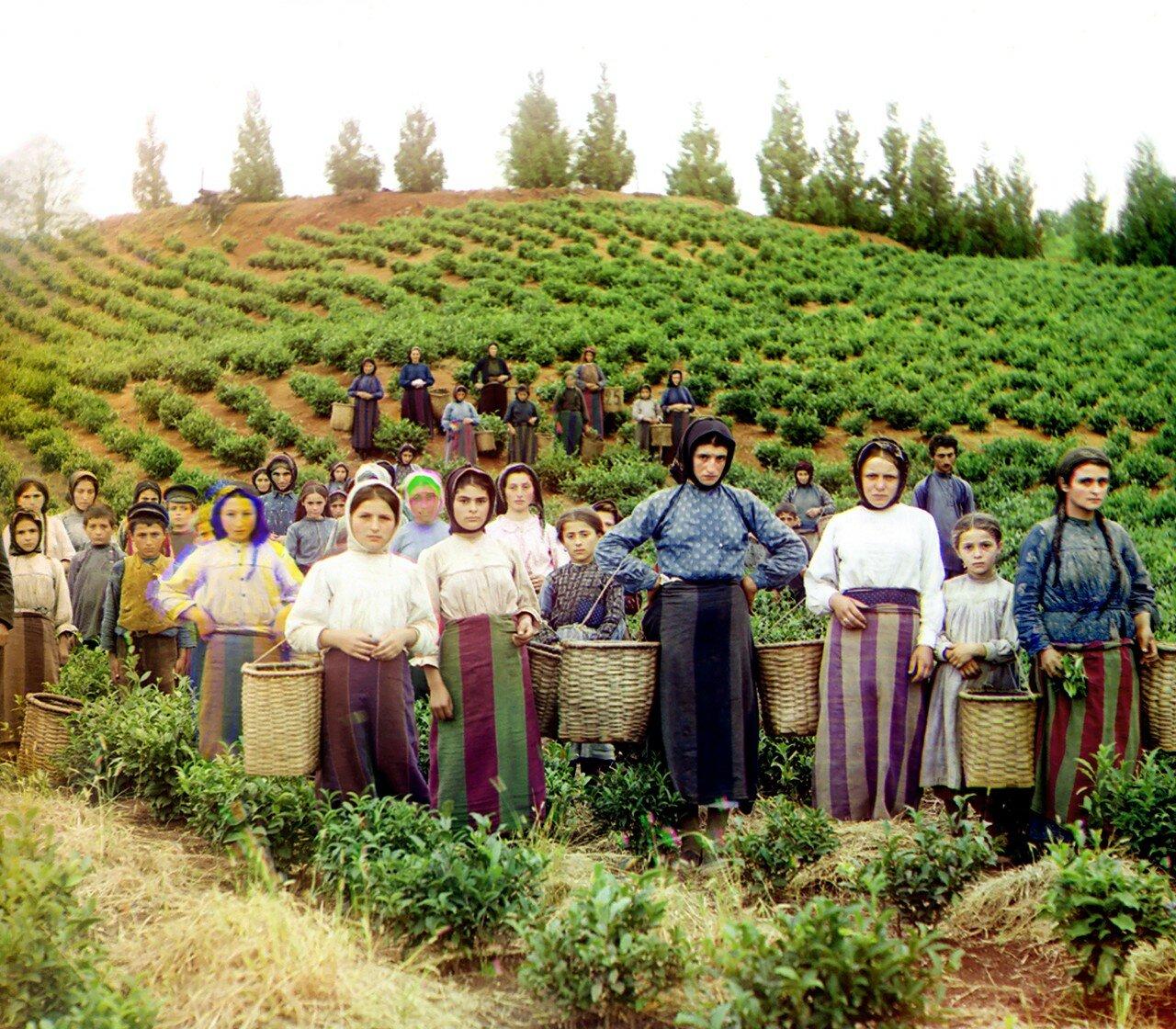 Окрестности Батума.  Чаква. Группа рабочих на сборе чая. Гречанки