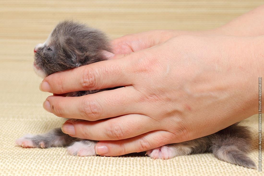купить в питомнике котенок Мейн-кун кошка