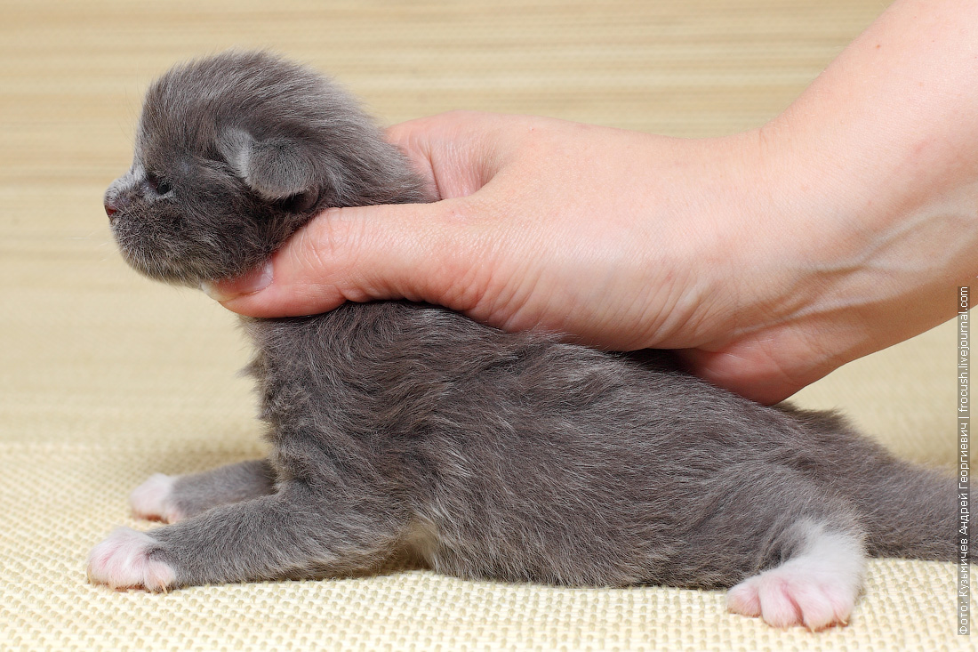 где купить котенка Мейн-кун из питомника в Москве