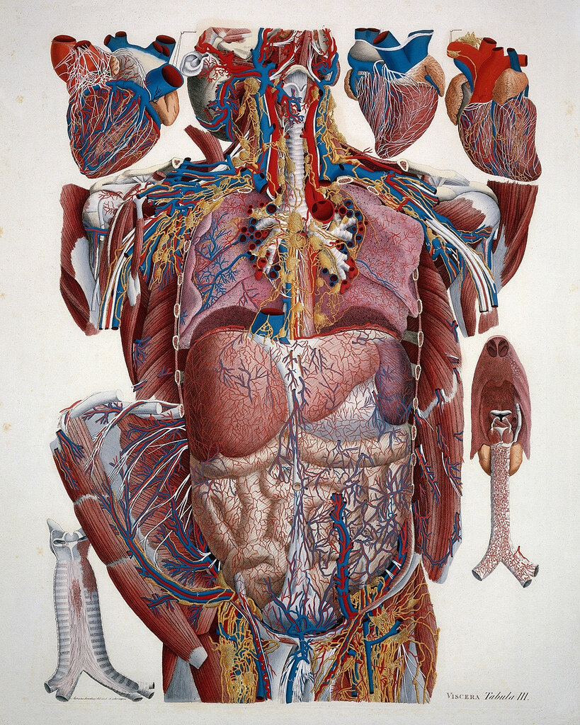 Illustration of human viscera by Paulo Mascagni, from his Anatomia Universa (1823-31) – Source: Wellcome Library, London.