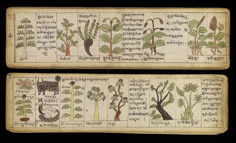 Illustrations of Tibetan materia medica from Sman bla'i dgongs rgyan rgud bzhi'i nang gi 'khrungs dpe re zhig.jpg