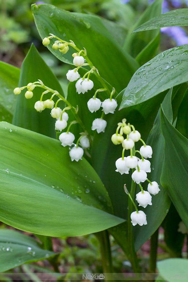 Я люблю все цветы, выпуск #103 | Ландыш - «лилия долин, цветущая в мае».