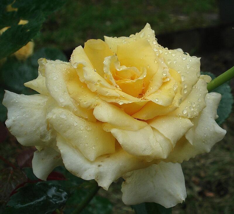 Sommergold 1.jpg