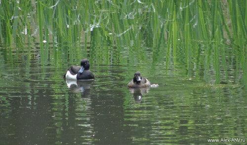 Ещё рано, и они плаваю парами. Скоро к ним присоединятся птенцы