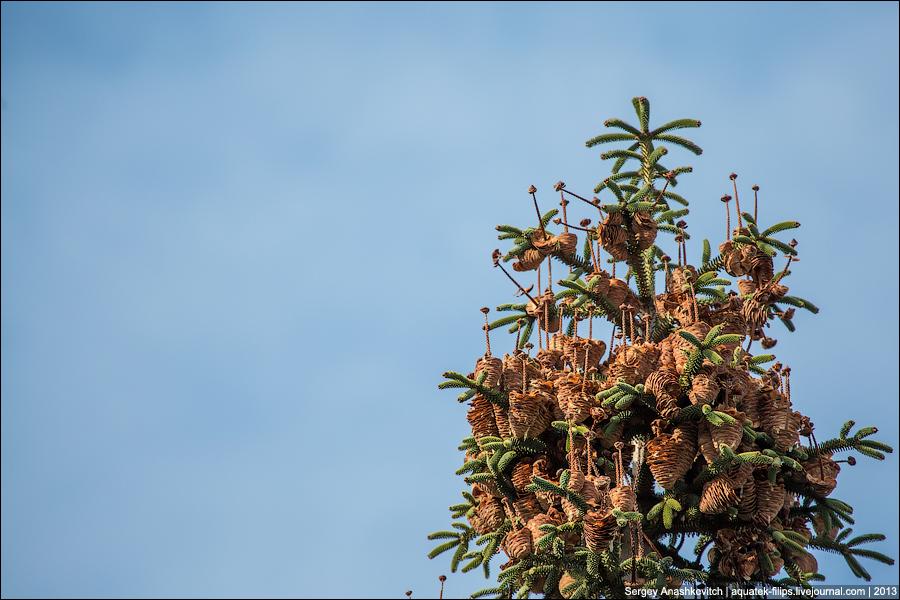 Грибы на елках