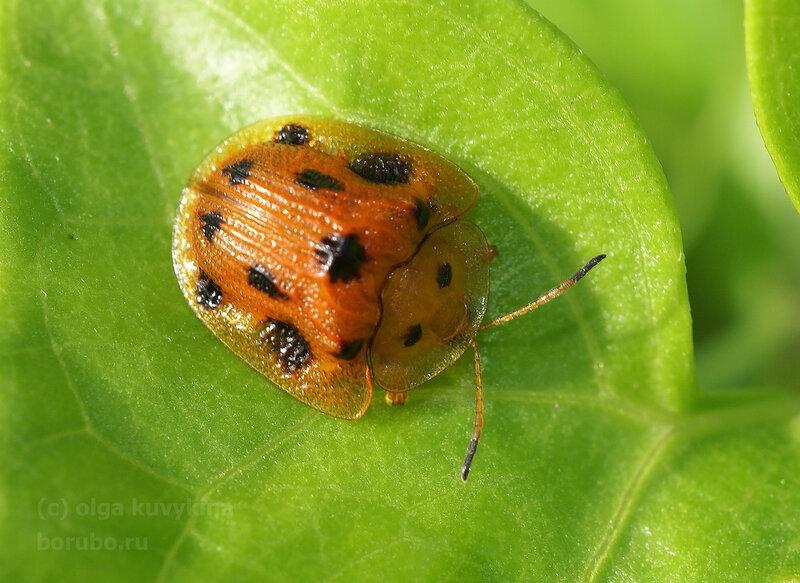 Жук щитоноска Cassidinae/Chrysomelidae