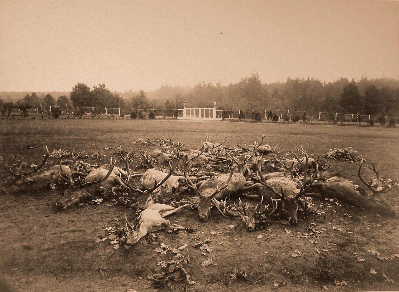 51. Олени, убитые во время охоты. 1894