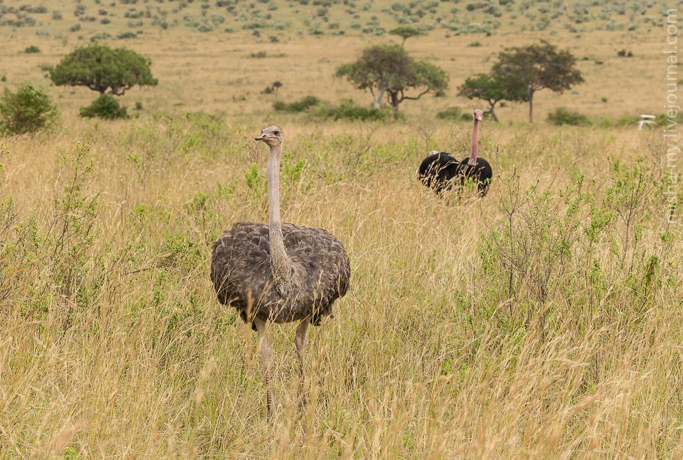3. Каждый глаз страуса размером с его мозг!