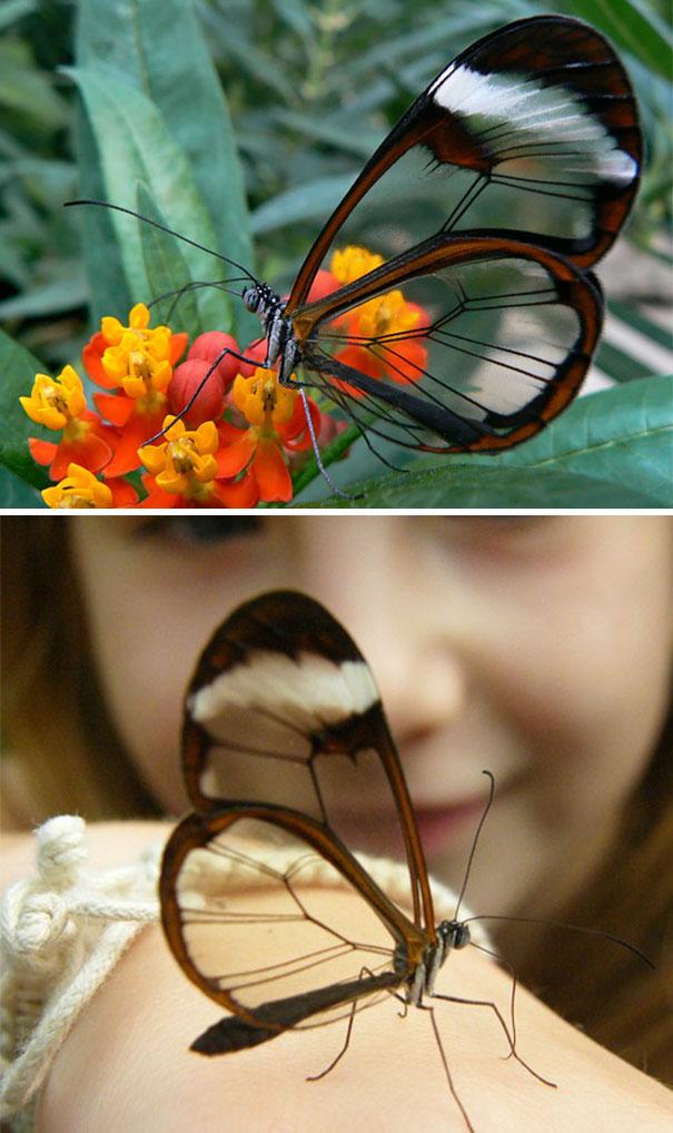 животные Южная Америка прозрачность маскировка бабочки способности для взрослых