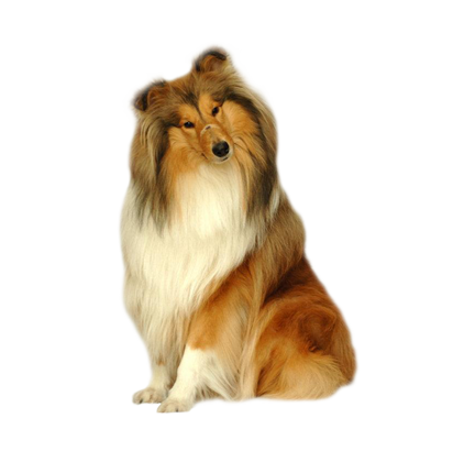 collie_linghair.png