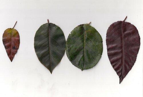 Образцы листьев груш.