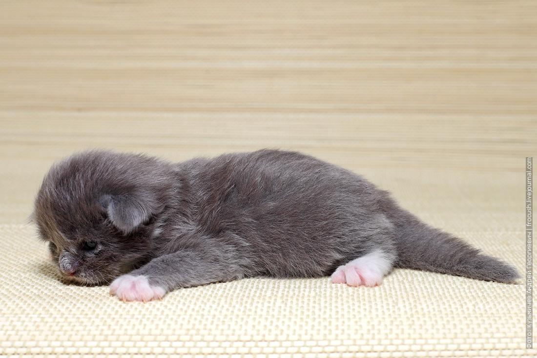 где купить котенка Мейн-кун