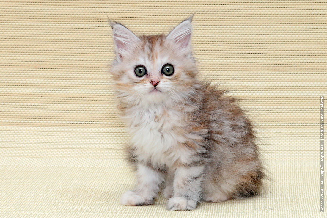 мейн кун котенок маленький