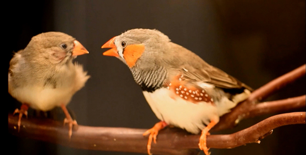vocal_learning_in_zebra_finches_fig1_600.jpg