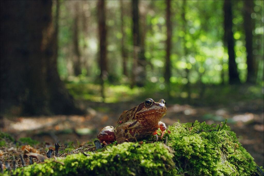 В лесу с лягушкой повстречалась....