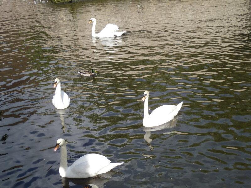 Лебеди в Брюгге (Swans in Bruges)