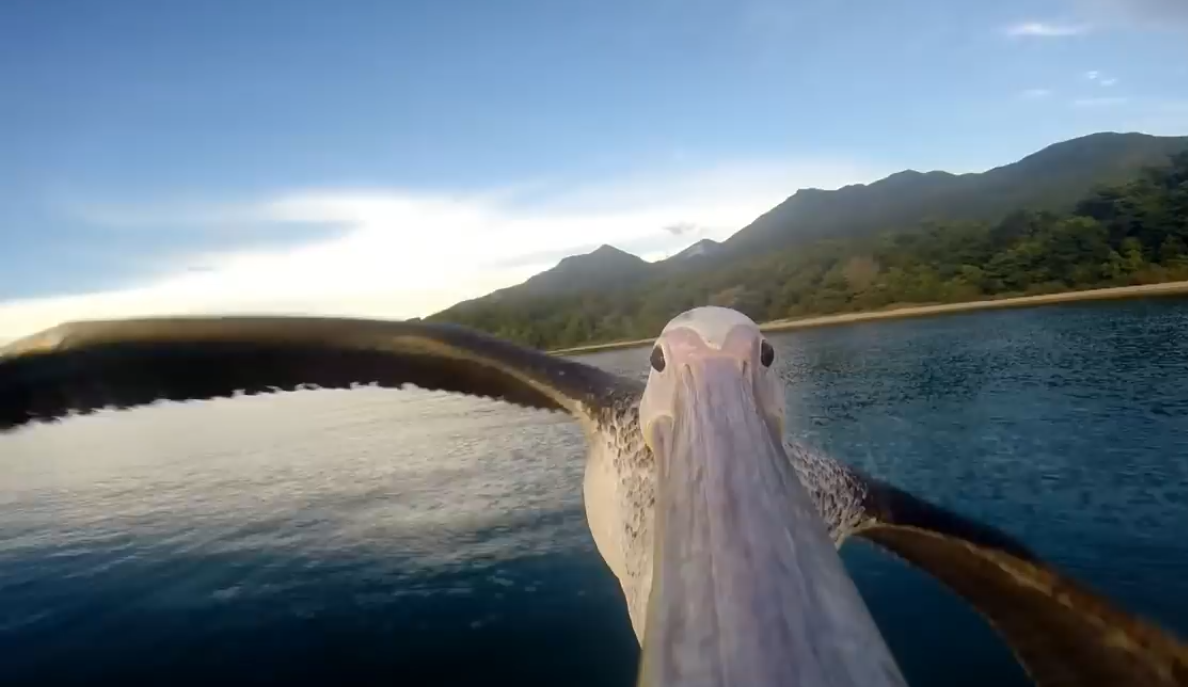 полет пеликана