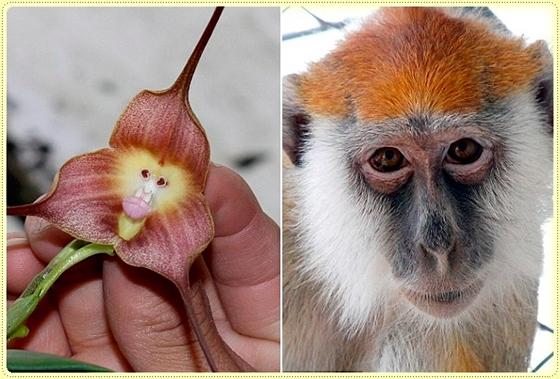 Орхидея с обезьяньей мордочкой (Dracula Simia)