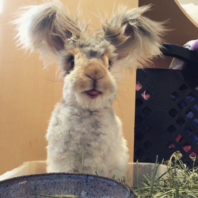 кролик Wally