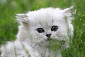 Котёнок Ивашка