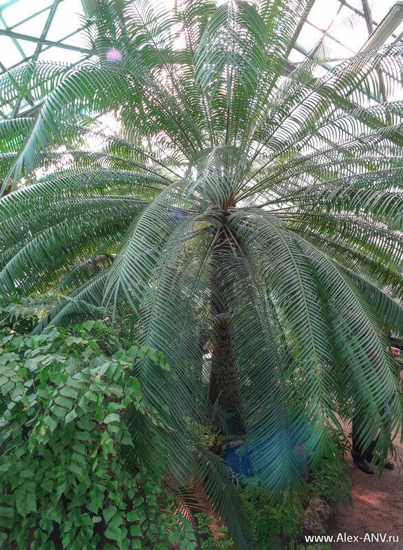 Казалось бы пальма, но нет. Это тоже папоротник - древовидный.