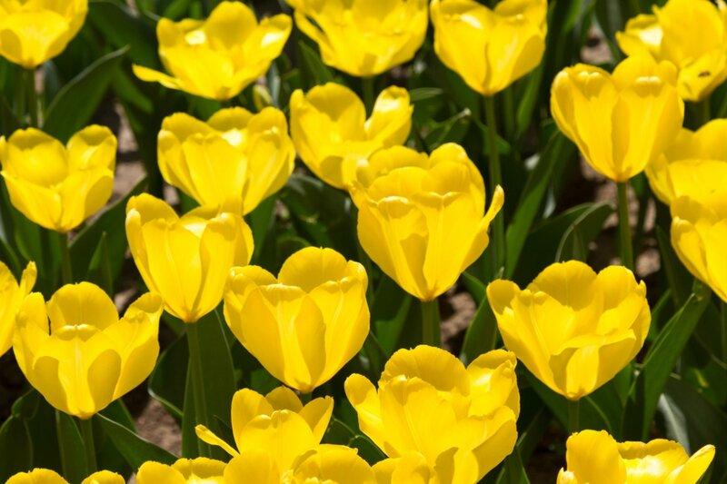 Тюльпаны, парк Чжуншань гунъюань, Пекин