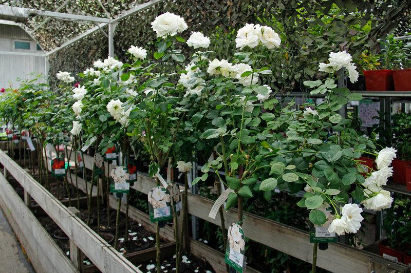 Новые поступления штамбовых роз в наших магазинах