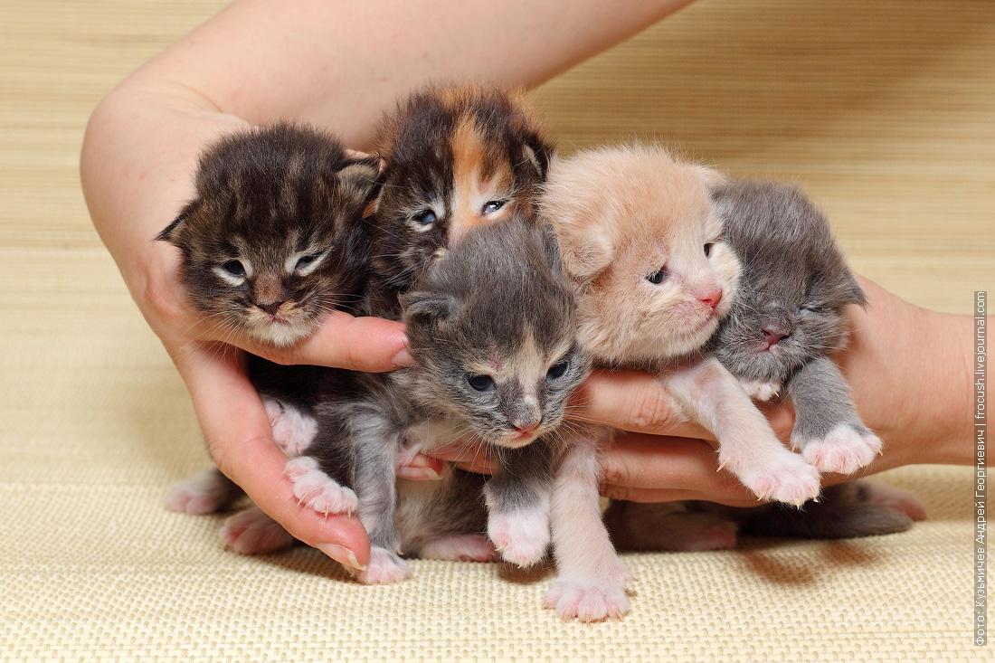 котята Мейн-кун разноцветные