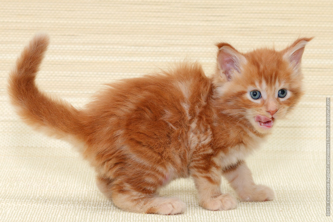 котенок Мейн-кун фотография