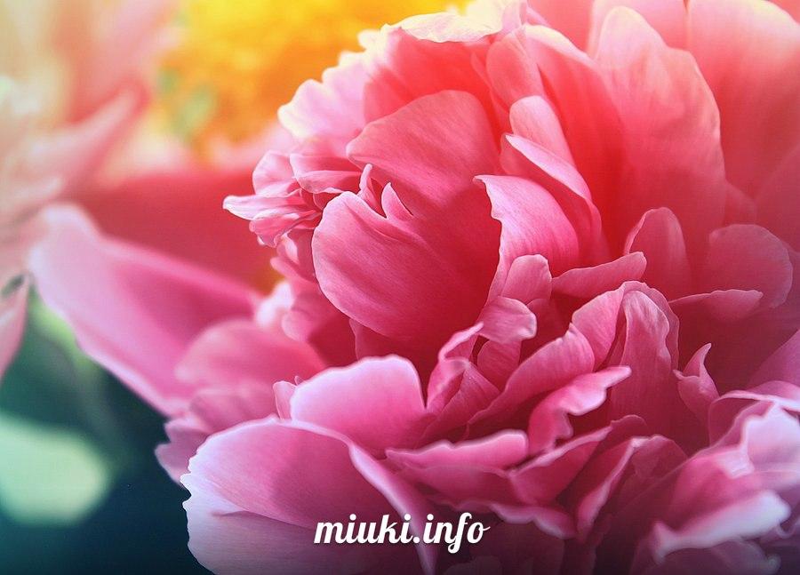 Ханами - традиционное любование цветами