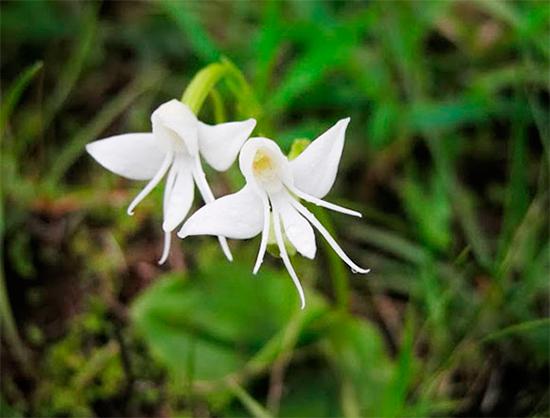 Удивительные орхидеи - ангел (Habenaria Grandifloriformis)