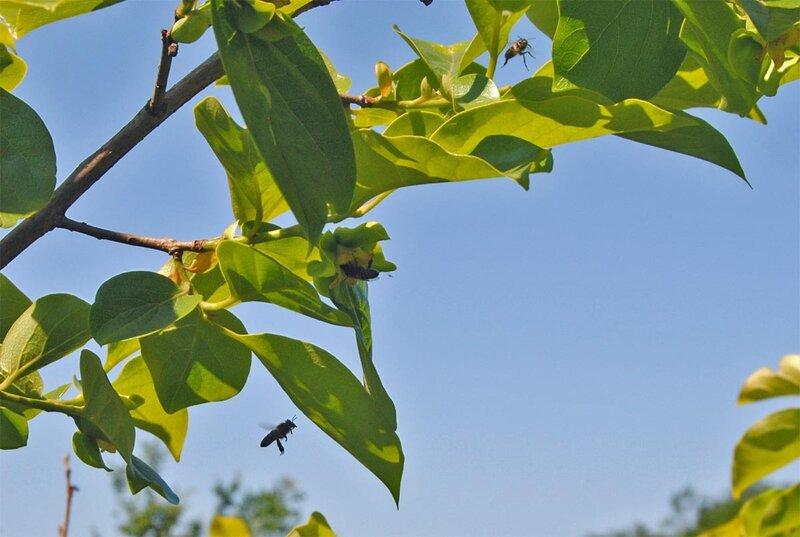 Пчелы у хурмы