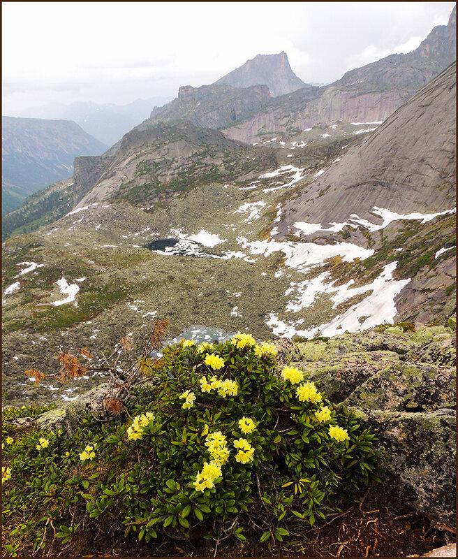 Цветёт рододендрон золотистый