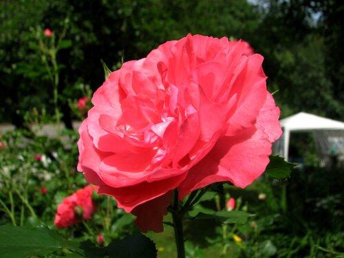 Роза Rosarium Uetersen 01.JPG