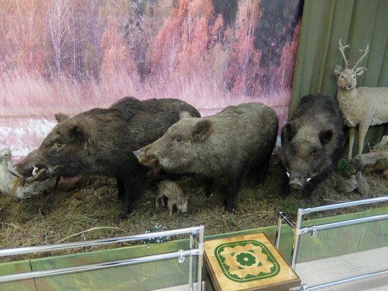 Минусинск - Краеведческий музей - Кабаны