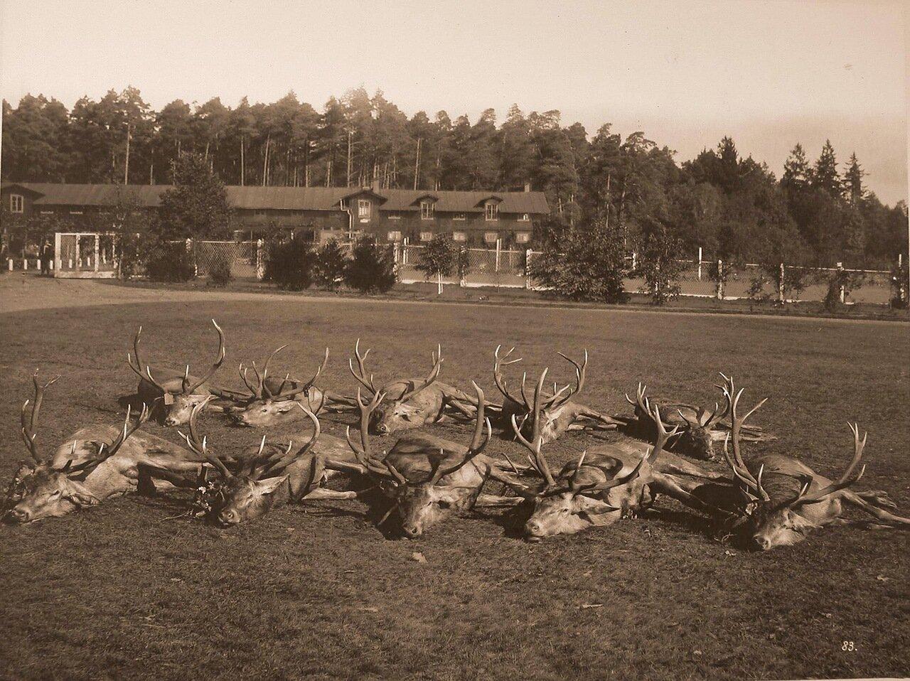 50. Олени, убитые во время охоты. 1894