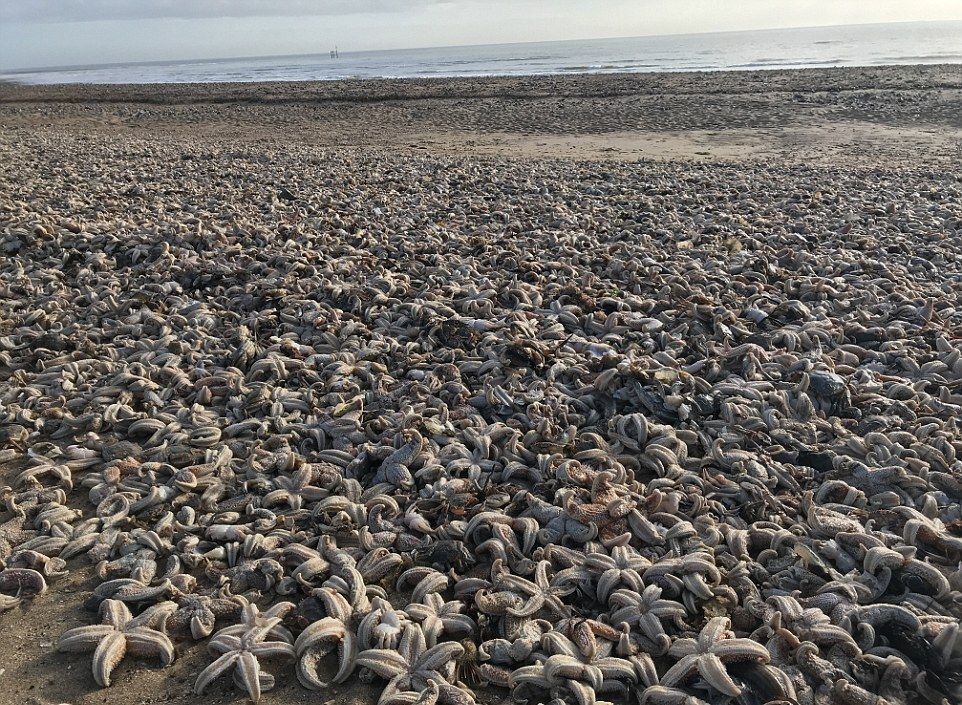 Тысячи мертвых морских звезд выбросило на пляж в Великобритании Существенный, погибших, настоящим, зрелище, назвали, природы, дикой, Защитники, птицы, другие, чайки, морские, также, животных, Среди, природе, Рамсгейте, берег, выбросило, звезд