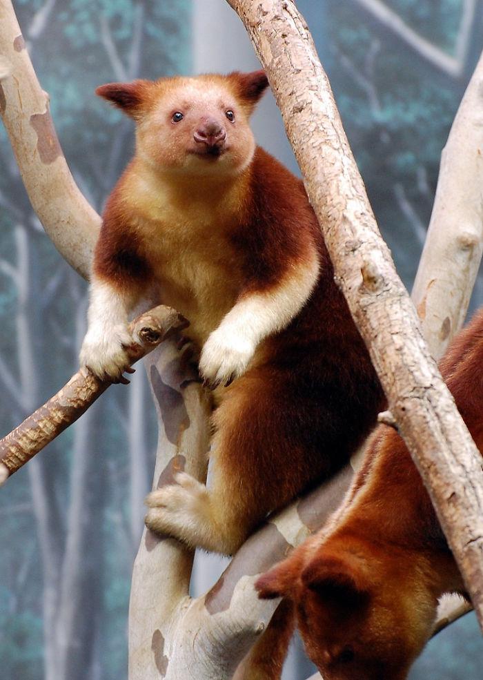 Спускаться на землю древесных кенгуру заставляет голод: кроме листьев, эти сумчатые не прочь полаком