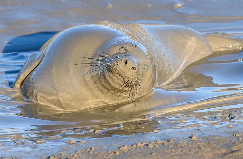 Тюлень, протестующий против окончания новогодних каникул, устроил грязевое джакузи