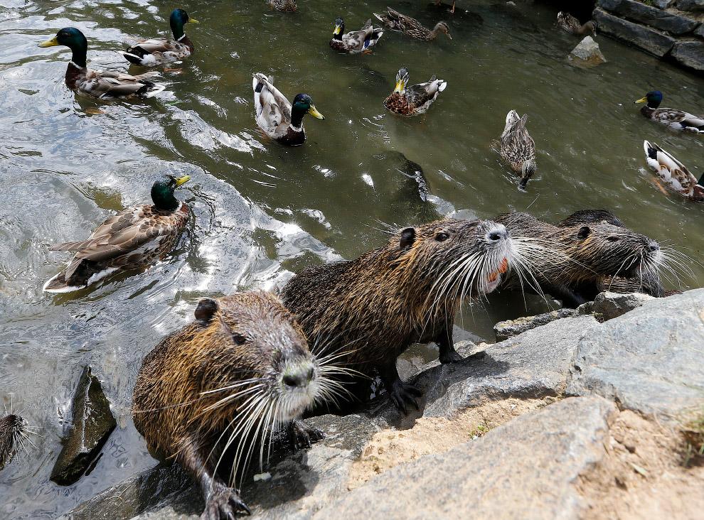 Говорят, животные похожи на своих хозяев. Теленок и хозяйка в Шотландии. (Фото Robert Perry):