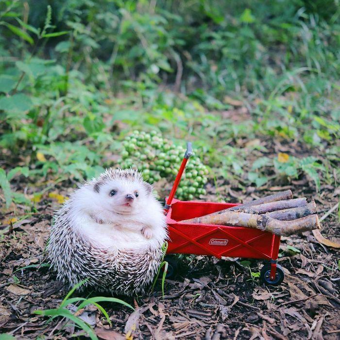 Азуки - крошечный еж-путешественник из Японии