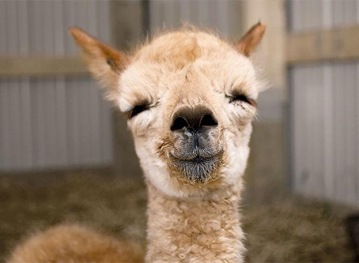 Альпака заставляют вас улыбаться