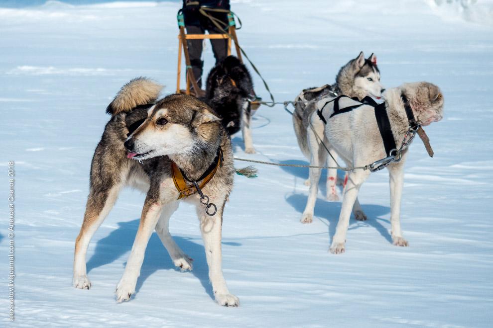 Байкал собаки автомобиль вездеход свобода