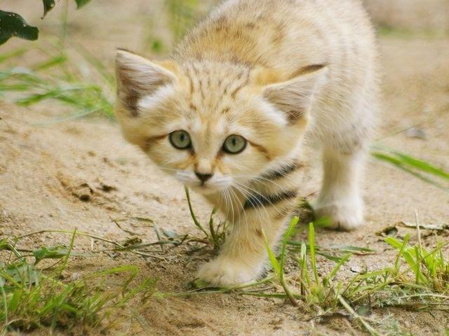 Отличные новости для любителей кошек — барханные кошки выглядят как котята на протяжении всей жизни