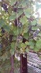 виноград вьющийся