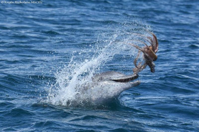 Фото: дельфин играет осьминогом